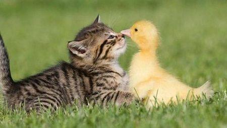 cat_duck_184ssbj-184ssce
