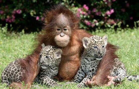 orangutan-leopard-_1377370i1-558x360